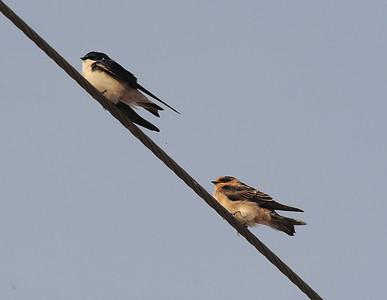 Salton Sea, Imperial County, CA 03/19.2013, bird on right