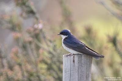 Chilean Swallow - Chile