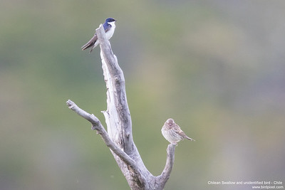 Chilean Swallow and unidentified bird - Chile