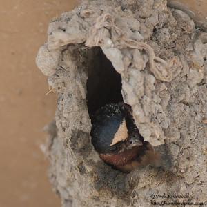 Cliff Swallow - Shoreline Park, Mountain View, CA, USA