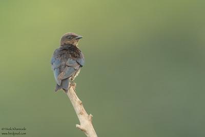 Gray-breasted Martin - Amazon, Ecuador