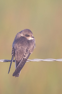 Juvenile Northern Rough-winged Swallow - Sierra Valley, CA, USA