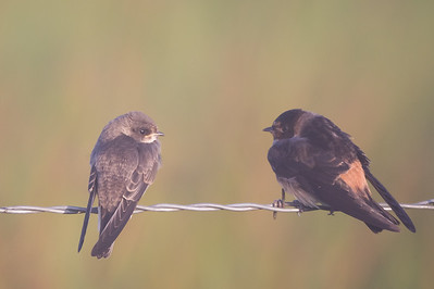 Juvenile Northern Rough-winged Swallow and Cliff Swallow .- Sierra Valley, CA, USA