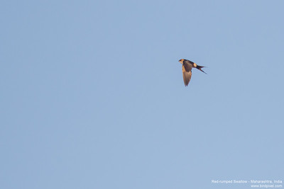 Red-rumped Swallow - Maharashtra, India