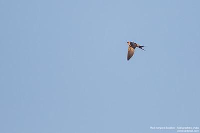 Red-rumped Swallow - Maharashtra, India