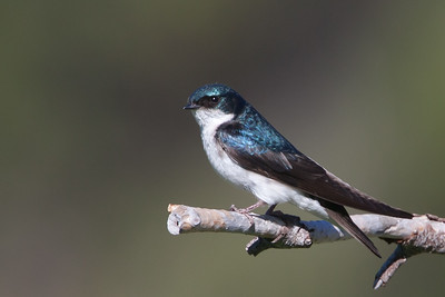 Tree Swallow - Kyburz Flats, Near Sierraville, CA, USA