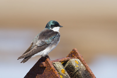 Tree Swallow - Council, AK, USA