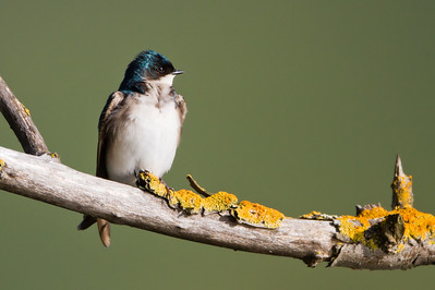 Tree Swallow - Ed Levin County Park, Milpitas, CA, USA