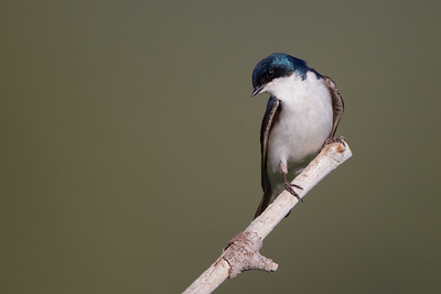 Tree Swallow - Kyburz Flats, CA, USA