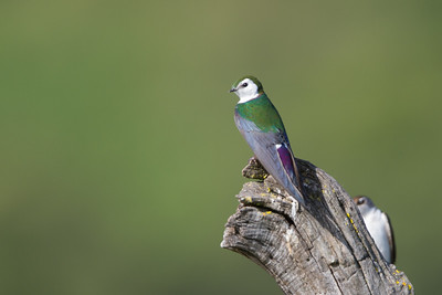 Violet-green Swallow - Rancho San Antonio, Los Altos, CA, USA