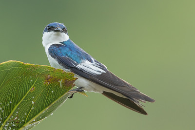 White-winged Swallow - Amazon, Ecuador