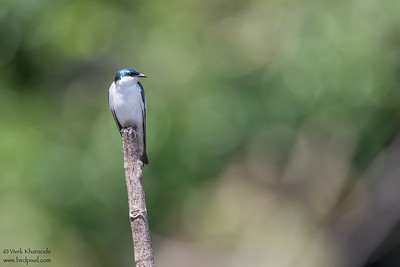 Blue-and-White Swallow - Amazon, Ecuador