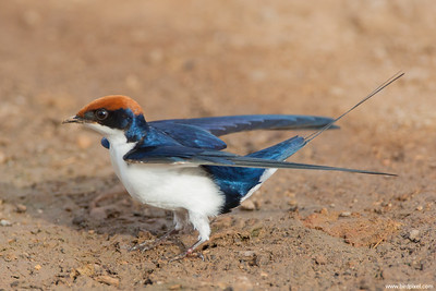 Wire-tailed Swallow - Kutch, Gujrat, India
