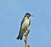 Tree Swallow with nesting  material