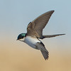 avalon south pond, tree swallow: Tachycineta bicolor