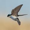 avalon south pond, tree swallow: Tachycineta bicolor
