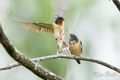 barn swallow: Hirundo rustica, feeding, juvenile: immature, Petrie Island