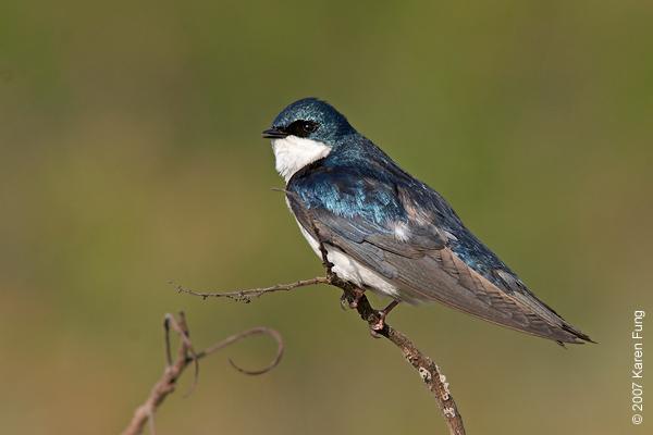 Tree Swallow at Jamaica Bay Wildlife Refuge