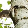IMG_1467 - Tree swallow