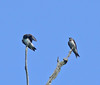 Young Purple Martins