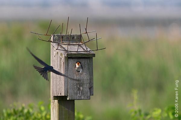 Tree Swallows at Jamaica Bay Wildlife Refuge