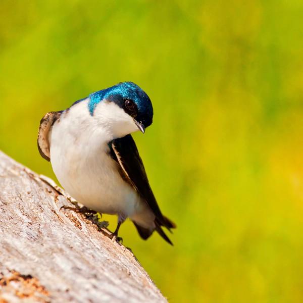 Swallow-Tree Swallow