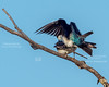 Tree Swallows in Love