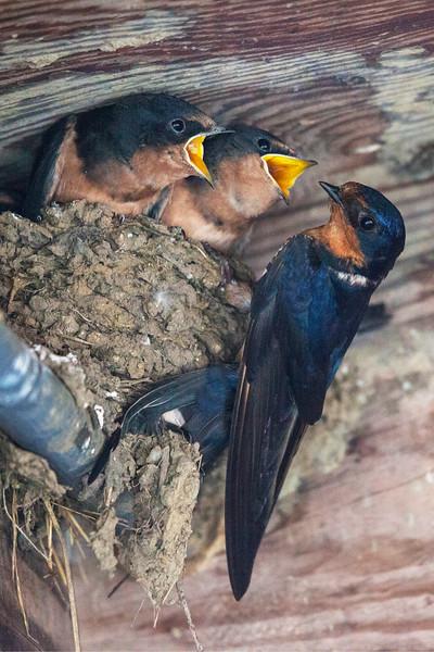 BarnSwallows7408