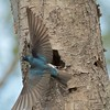IMG_1708 - Tree swallows