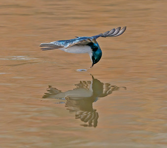 Tree Swallow Gets its Target
