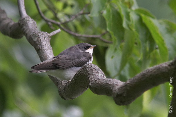 12 June: Young Tree Swallow at Rockefeller SP