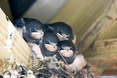 Swallows (August 2014)