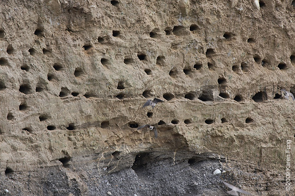 June 14th:  A colony of 200+ Bank Swallows in Ulster County, NY
