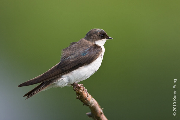 13 June: Tree Swallow at the Oceanside Marine Nature Study Area