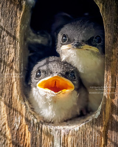 Tree Swallow Babies