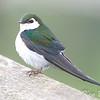 Burnaby Lake, violet-green swallow: Tachycineta thalassina