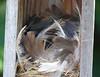 Tree Swallow Nest