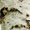 IMG_1453 -Tree swallow