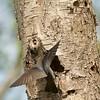IMG_1739 - Tree swallows