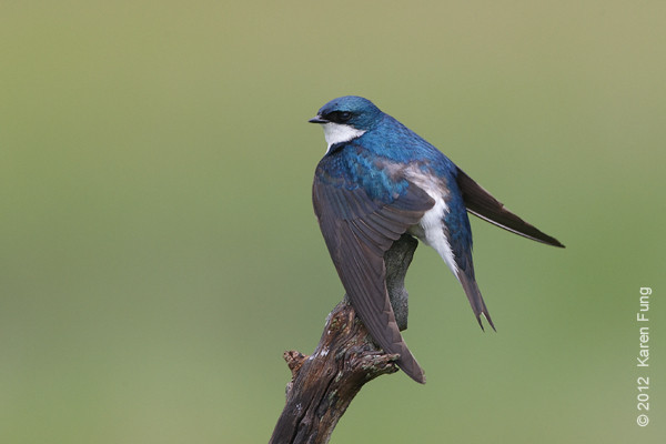 27 May: Tree Swallow stretching its wings at Oceanside MNSA