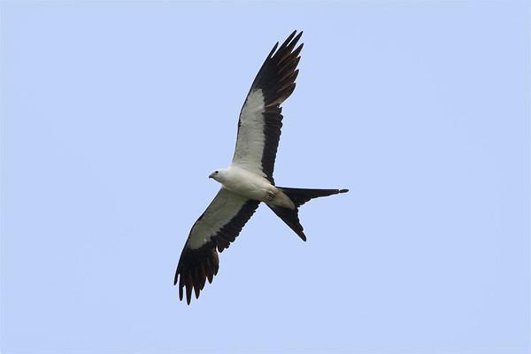 Swallowtail Kites