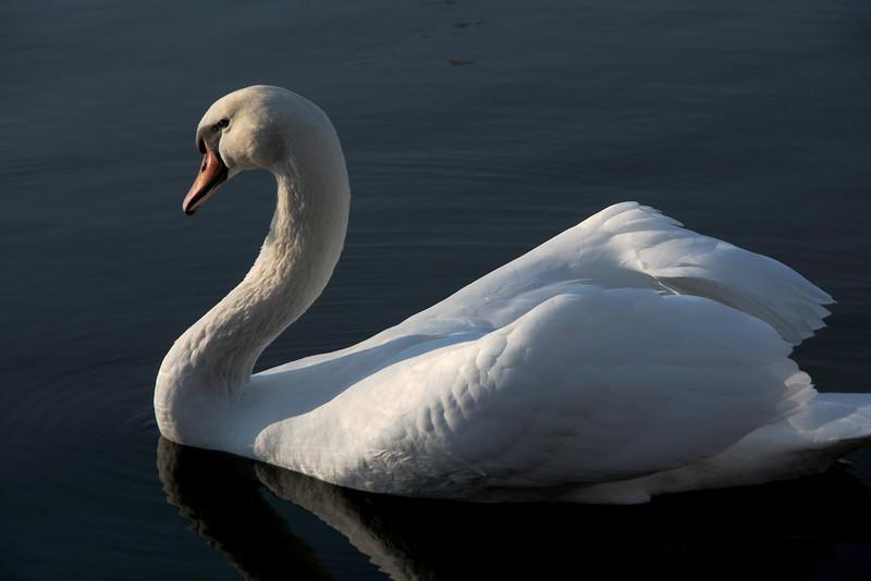 Swan Ballet #31.