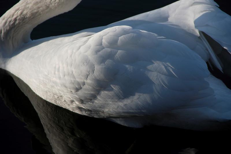 Swan Ballet #29.