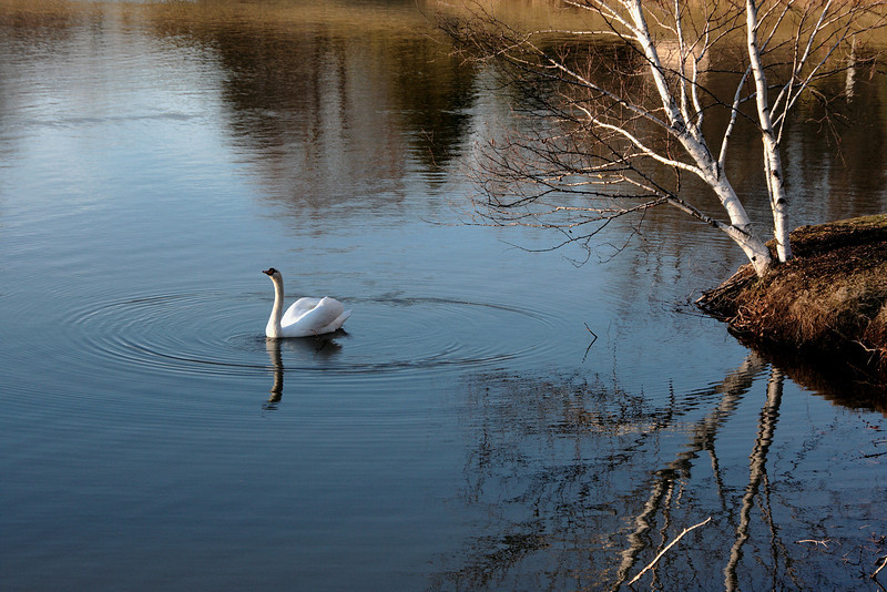 """Swan Ballet #80.<br /> <br /> When I think about it, the circular ripples with no sign of forward movement must signal the swan equivalent of treading water, or the ballerina equivalent of dancing """"en pointe"""" in place."""