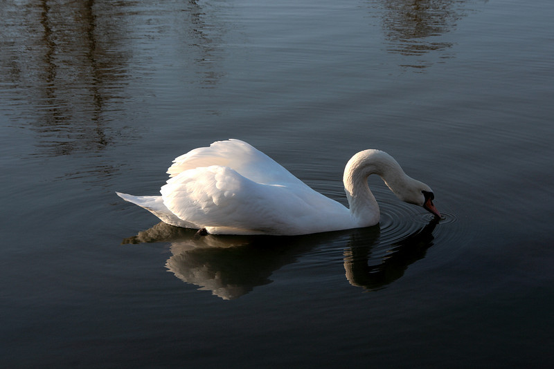 Swan Ballet #59.<br /> <br /> Intermission:  Taking a sip (b)