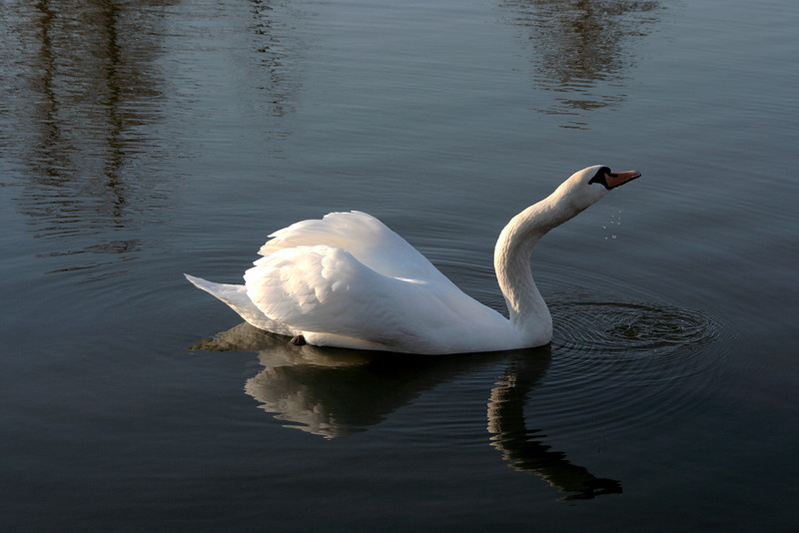 Swan Ballet #60.<br /> <br /> Intermission:  Taking a sip (c)