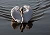 Swan Ballet #4