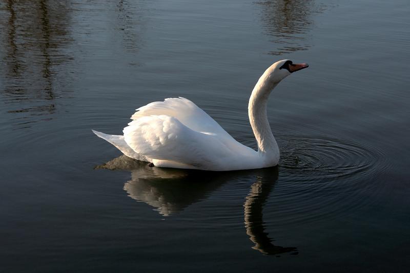 Swan Ballet #62.<br /> <br /> Intermission:  Taking a sip (d)