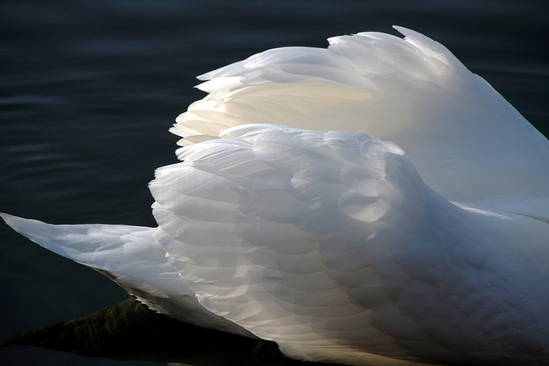 Swan Ballet #12<br /> <br /> The sun shining through the wing feathers was, to me, a gorgeous sight.