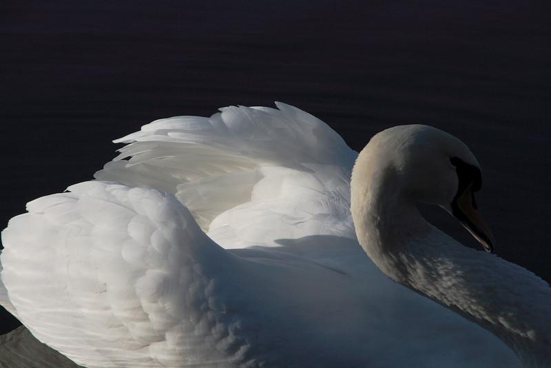 Swan Ballet #43.